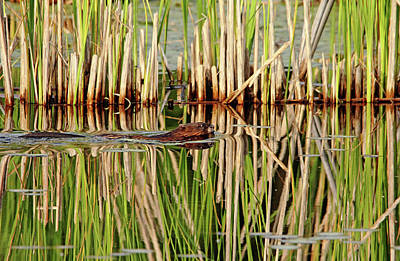 Photograph - Beaver And Cattails by Debbie Oppermann