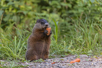Photograph - Beaver And The Carrot by Josef Pittner