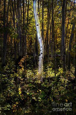 Photograph - Beaver Aspen Grove by Craig J Satterlee