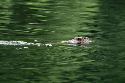 Photograph - Beaver At Dusk by Belinda Greb