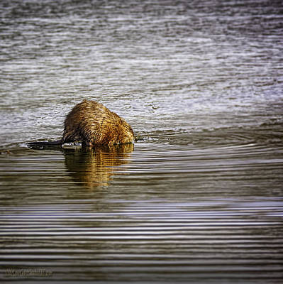 Beaver Photograph - Beaver At Stoney Creek by LeeAnn McLaneGoetz McLaneGoetzStudioLLCcom