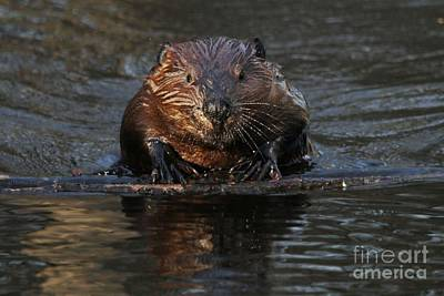 Photograph - Beaver Floatation Device by Heather King