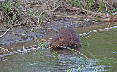 River Photograph - Beaver by Gary Wing