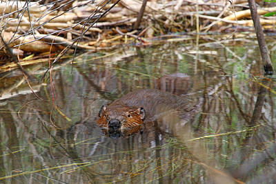 Photograph - Beaver Look by Sharon I Williams