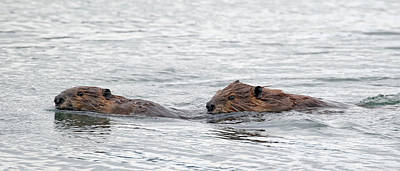 Photograph - Beaver Pair I by Jean Clark