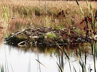 Photograph - Beaver Pond And Lodge by Stephanie Moore