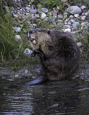 Photograph - Beaver Scratching by Elizabeth Eldridge