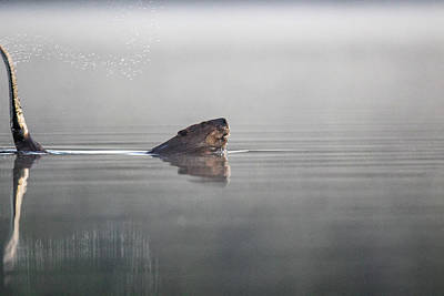 Photograph - Beaver Tail by Darryl Hendricks