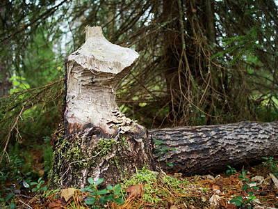 Photograph - Beaverart by Jouko Lehto