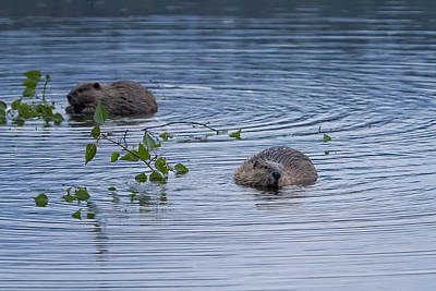 Photograph - Beavers At Breakfast by Belinda Greb