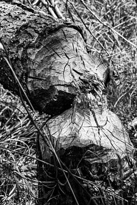 Photograph - Beavers Were Here by Mick Anderson
