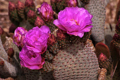 Photograph - Beavertail Cactus Blooming by Sandra Selle Rodriguez