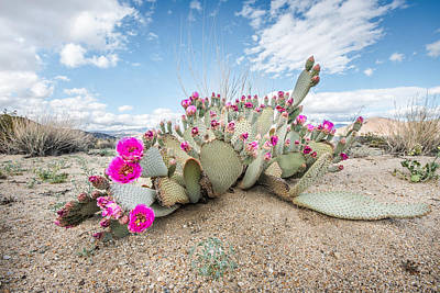 Photograph - Beavertail Cactus by Shuwen Wu