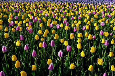 Tulip Photograph - Bed Of Sidelit Yellow Garant And Purple White Ollioules Dutch Tu by Reimar Gaertner