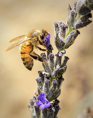 Photograph - Bee 1 by Endre Balogh
