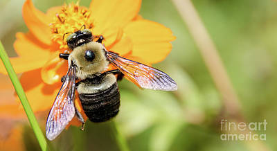 Photograph - Bee 5 by Andrea Anderegg
