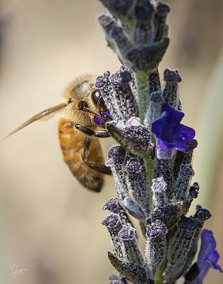 Photograph - Bee 7 by Endre Balogh