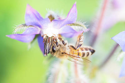 Photograph - Bee A Star 1 by Brian Hale