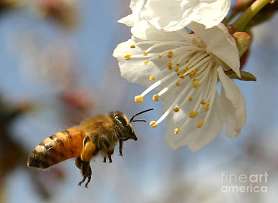 Bee Collects Nectar Photograph - Bee And A Blossom by Danny Yanai