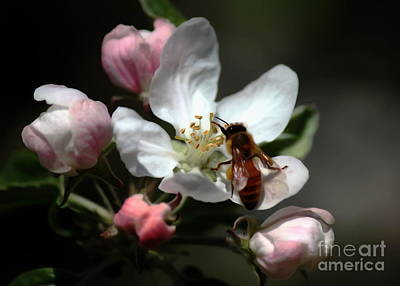 Photograph - Bee And Blossom by Erica Hanel