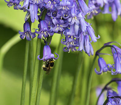 Photograph - Bee And Bluebells by Kathryn Bell