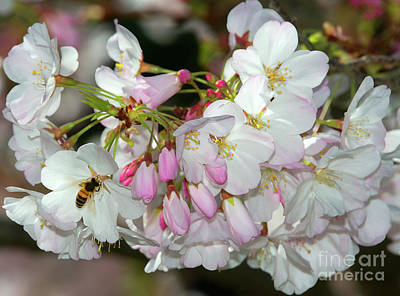 Photograph - Bee And Cherry Blossoms 2 by Glenn Franco Simmons