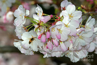 Photograph - Bee And Cherry Blossoms by Glenn Franco Simmons