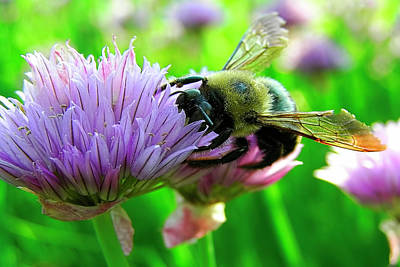 Bee And Chives Art Print by Tony Beaver