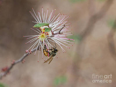 Photograph - Bee And Fairy Duster by Ruth Jolly