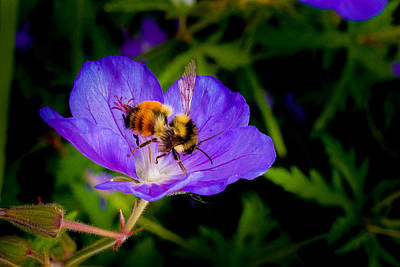 Photograph - Bee And Flower by Elaine Goss