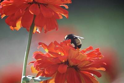 Photograph - Bee And Flower I by Donna G Smith