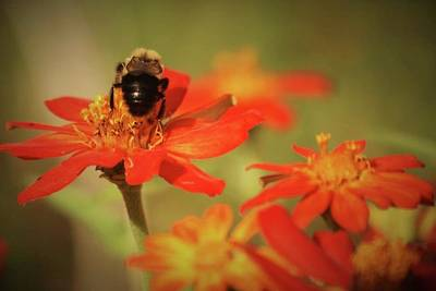 Photograph - Bee And Flower IIi by Donna G Smith