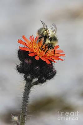 Bokeh Photograph - Bee And Hawkweed by Carolyn Brown