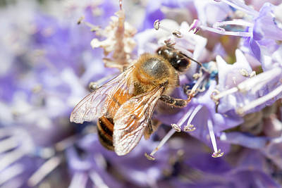 Photograph - Bee And Lilac Tree by SR Green