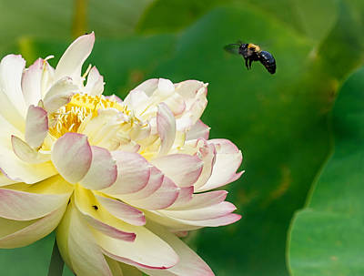 Photograph - Bee And Lotus by Denise McKay