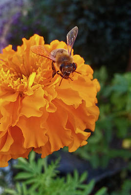 Photograph - Bee And Marigold by Harold Zimmer