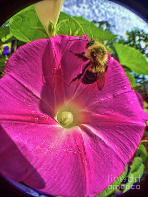 Photograph - Bee And Morning Glory by Todd Breitling