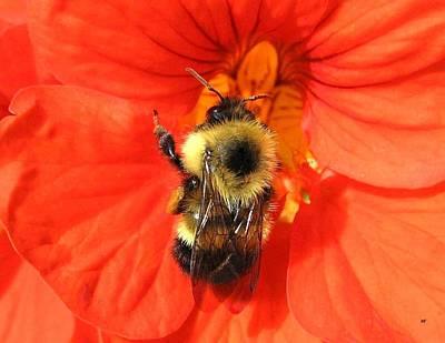 Bee And Nasturtium Print by Will Borden