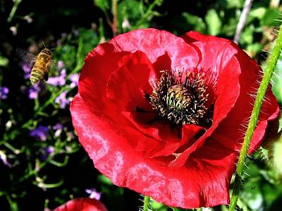 Photograph - Bee And Red Poppy by Will Borden