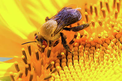 Photograph - Bee And Sunflower by Steven Green