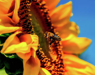 Photograph - Bee And Sunflower by Walter Bichler
