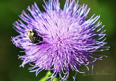 Photograph - Bee And Thistle by Edward Peterson