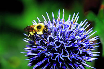 Photograph - Bee And Thistle by Ray Kent