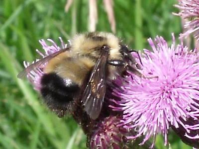 Bee Art Print by Angela Christine