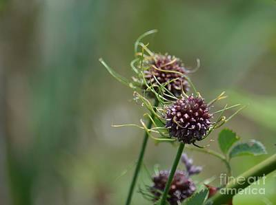 Photograph - Bee Balm Afterthoughts by Maria Urso