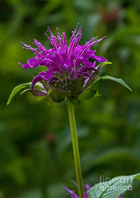 Photograph - Bee Balm Beauty by Robert Pilkington