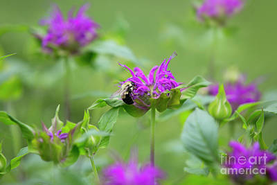 Photograph - Bee Balm by Diane Diederich