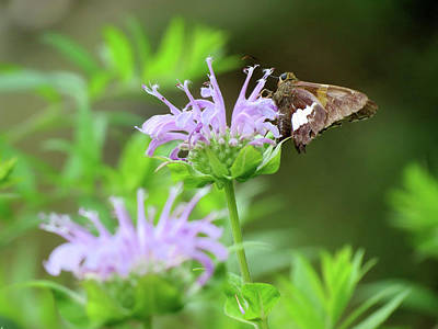 Photograph - Bee Balm Skipper Butterfly by MTBobbins Photography