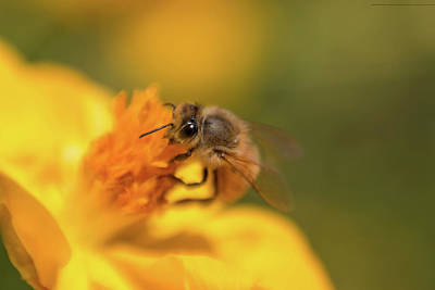 Photograph - Bee Being A Bee by Brian Hale