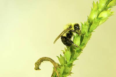 Photograph - Bee Climbing Plant Seed Head by Douglas Barnett